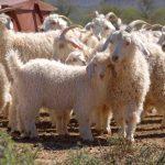 A H&M és a Zara elállnak a mohair fonal használatától az állatok védelme miatt