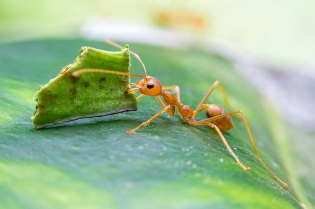 A hangyák együttműködőbbek az embereknél?